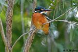 Common Kingfisher DSC_5369