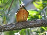 Common Kingfisher DSC_5258