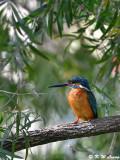 Common Kingfisher DSC_5399