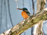 Common Kingfisher DSC_5440