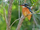 Common Kingfisher DSC_5290