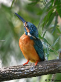 Common Kingfisher DSC_5402