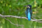 Common Kingfisher DSC_5468