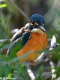 Common Kingfisher DSC_5281