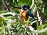 Common Kingfisher DSC_5473