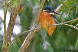 Common Kingfisher DSC_5327