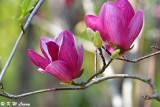 Magnolia DSC_5611