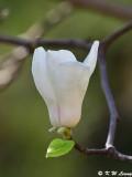 Magnolia DSC_5627
