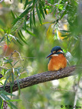Common Kingfisher DSC_5571