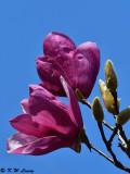 Magnolia DSC_5605