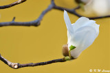 Magnolia DSC_5629