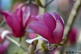 Magnolia DSC_5820