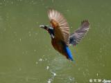 Common Kingfisher DSC_5649