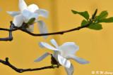 Magnolia DSC_5816