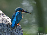 Common Kingfisher DSC_5876