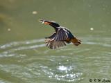 Common Kingfisher DSC_5656