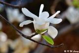 Magnolia DSC_5817