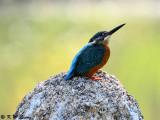 Common Kingfisher DSC_5898