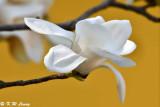 Magnolia DSC_5815