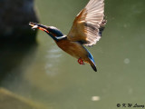 Common Kingfisher DSC_5657