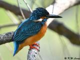 Common Kingfisher DSC_5855
