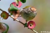 Common Tailorbird (長尾縫葉鶯)