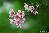Cherry Blossoms in Hong Kong (櫻花)