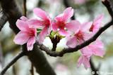 Prunus campanulata DSC_6113