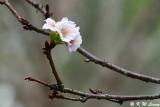 Prunus lannesiana var. speciosa cv. Shin-sumizome DSC_6277