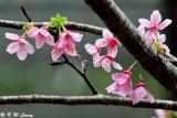 Prunus incisa DSC_6273