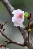 Prunus lannesiana var. speciosa cv. Shin-sumizome DSC_6279