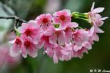 Prunus campanulata DSC_6119