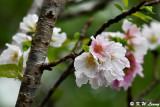 Prunus lannesiana var. speciosa cv. Shin-sumizome DSC_6275