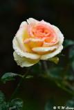 Rose DSC_6337