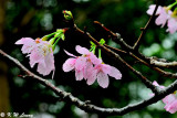 Prunus campanulata DSC_6115