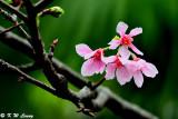 Prunus incisa DSC_6260