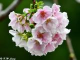 Prunus lannesiana var. speciosa cv. Shin-sumizome DSC_6290