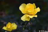 Rose DSC_6352