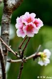Prunus lannesiana var. speciosa cv. Shin-sumizome DSC_6400
