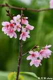Prunus incisa DSC_6424