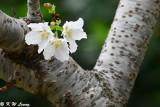 Prunus × yedoensis DSC_6482