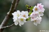 Prunus × yedoensis DSC_6501