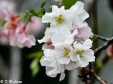 Prunus × yedoensis DSC_6453