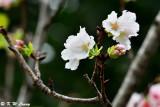 Prunus × yedoensis DSC_6461