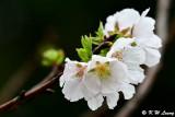 Prunus × yedoensis DSC_6129