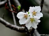 Prunus × yedoensis DSC_6134