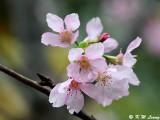Prunus incisa DSC_6286