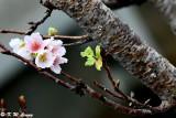 Prunus lannesiana var. speciosa cv. Shin-sumizome DSC_6281