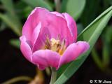 Tulip DSC_6582