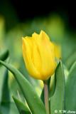 Tulip DSC_6606
